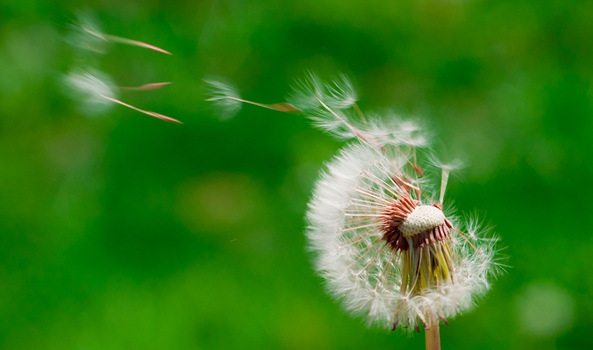 Dandelion wish, by John Liu / flickr